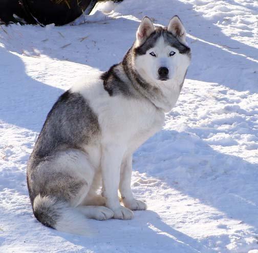 Siberian Husky Breeders Alberta Canada For Sale Dog Puppies Sledding